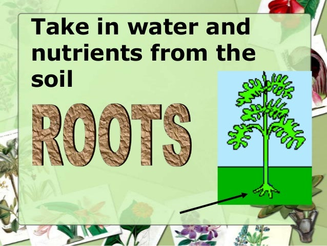 Take in water and nutrients from the soil