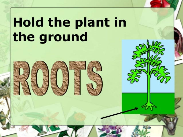 Hold the plant in the ground