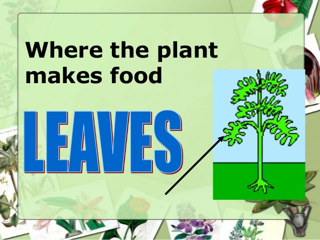 Where the plant makes food
