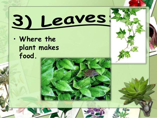 • Where the plant makes food.