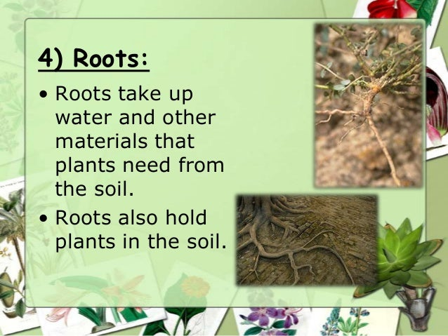 4) Roots: • Roots take up water and other materials that plants need from the soil. • Roots also hold plants in the soil.