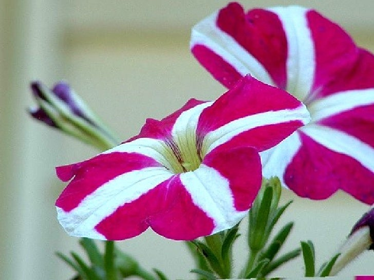 petunia flower information  flower, Natural flower
