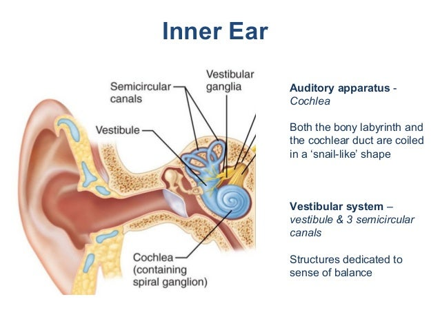 ear auditory system and semicircular canals Behind the vestibule is the third portion of the bony labyrinth known as the  semicircular canals the canals project from the posterior region of.