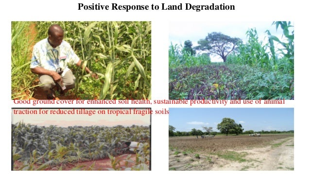 Controlling Striga menace and restore soil health using appropriate legume-cereal intercrops