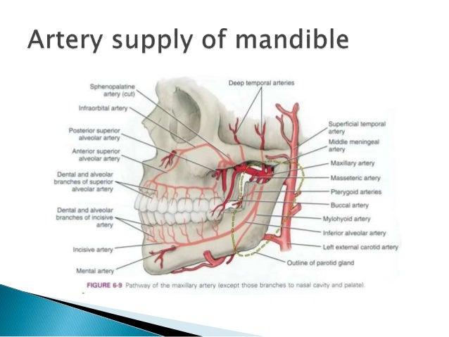 anatomy and development of mandible, Human body