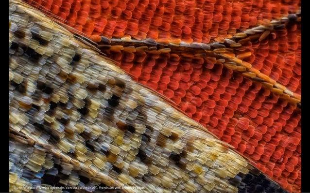 Scales of a butterfly wing underside, Vanessa atalanta (10x). Francis Sneyers, Brecht, Belgium