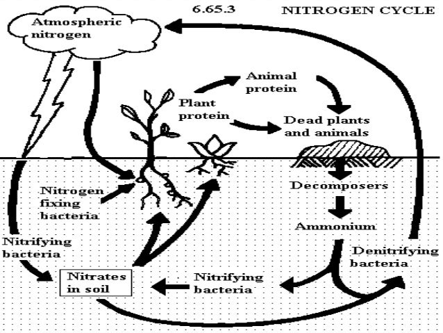 nitrogen cycle  u0026 how do human activities affect the