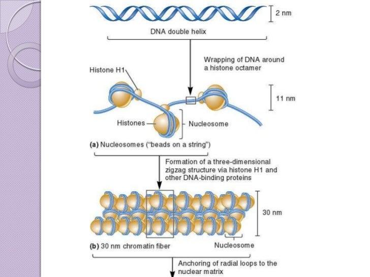 organization of dna in chromosomes 32 728