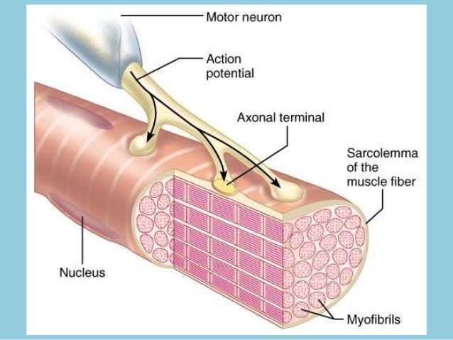 Illustrations of neuromuscular transmission Slide 2