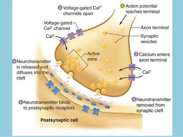 Illustrations of neuromuscular transmission Slide 3