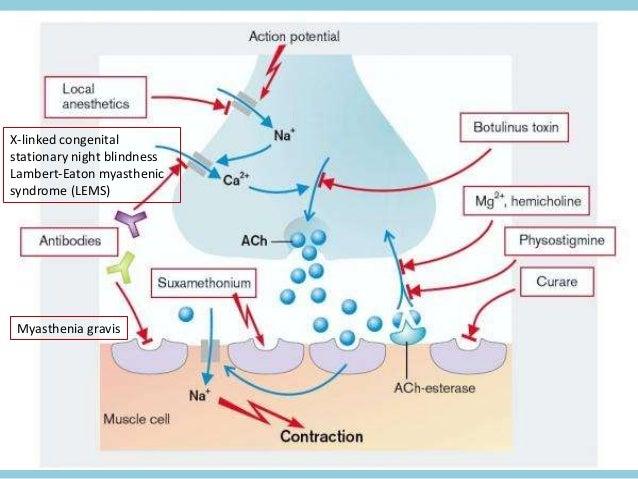 Illustrations of neuromuscular transmission