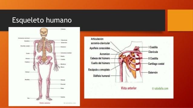 Nomenclatura de la anatomía, Nomenclatura anatómica y tejidos del cue…
