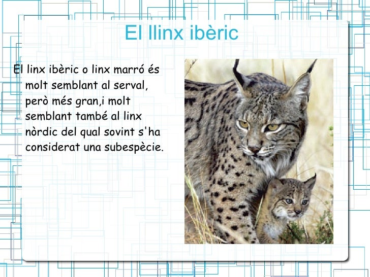El llinx ibèric  <ul><li>El linx ibèric o linx marró és  molt semblant al serval, però més gran,i molt semblant també al l...