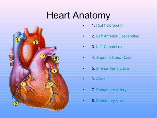 194 Anatomy And Function Of The Coronary Arteries