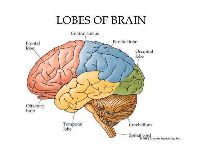 4 lobes of the brain The nervous system is your body's decision and communication center the central nervous system (cns) is made of the brain and the spinal cord and the peripheral.