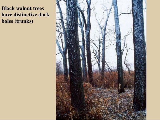 Decorah Envirothon - Northeast iowa trees and their values