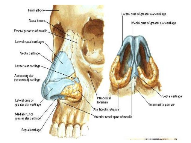 nose anatomy - Forte.euforic.co