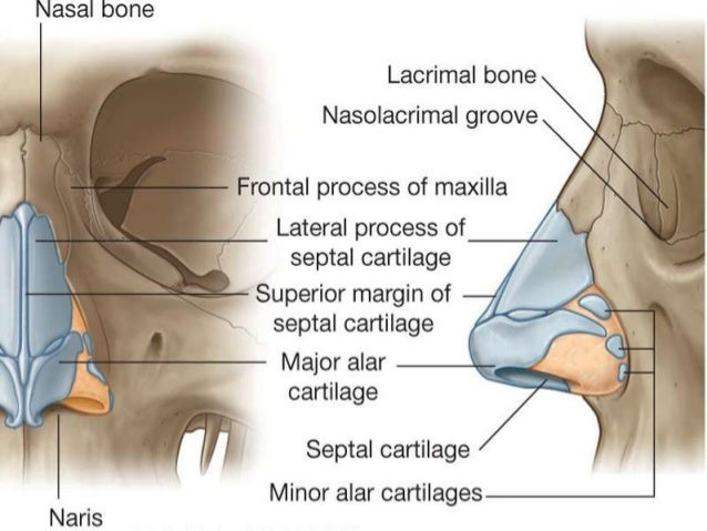 External nose anatomy