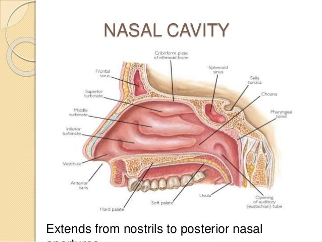 Nose And Paranasal Sinuses 35889589 as well Cranial Base And Nasal Cavity additionally 5953774 moreover Anatomy Of Meninges Ventricles Cerebrospinal Fluid besides BIO122 Lab images. on lateral view of body cavities