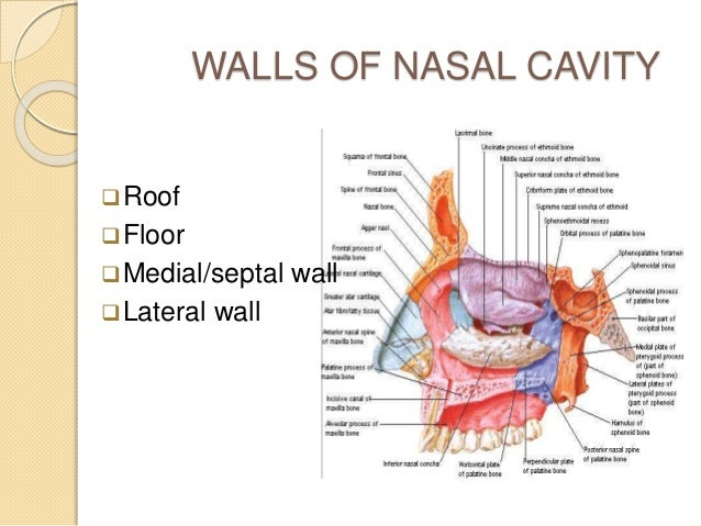 NASAL CAVITY Extends From Nostrils To Posterior Nasal; 25.