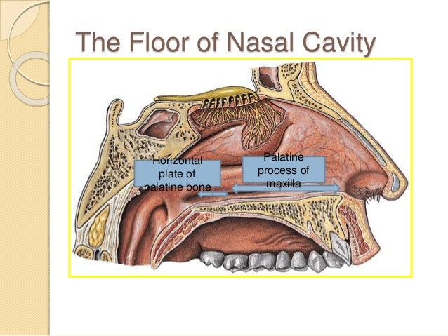 Marvelous ROOF OF NASAL CAVITY Frontal U0026 Nasal Bones Cribriform Plate Of Ethmoid Body  Of Sphenoid; 27. The Floor ...
