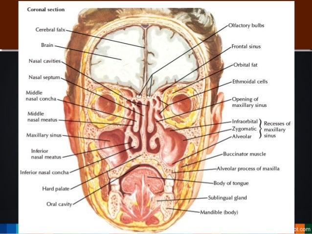 Facial sinus anatomy