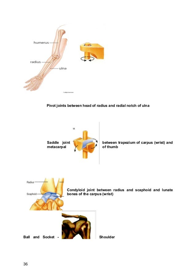 Pivot joints between head of radius and radial notch of ulna           Saddle joint                    between trapezium o...