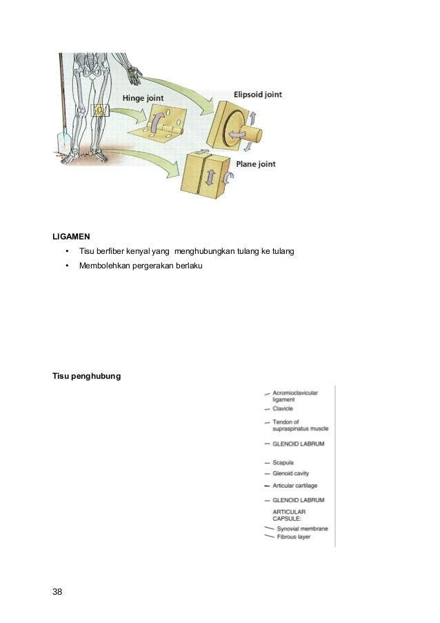 LIGAMEN     •   Tisu berfiber kenyal yang menghubungkan tulang ke tulang     •   Membolehkan pergerakan berlakuTisu penghu...