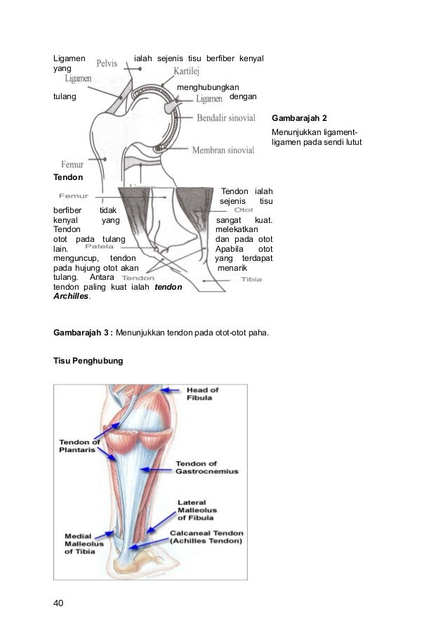 Ligamen             ialah sejenis tisu berfiber kenyalyang                               menghubungkantulang              ...