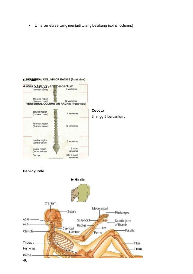 •   Lima vertebrae yang menjadi tulang belakang (spinal column.)Sacrum4 atau 5 tulang yang bercantum.                     ...