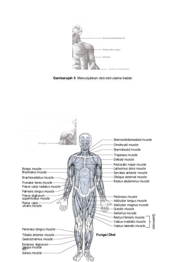 Gambarajah 5 Menunjukkan otot-otot utama badan                              Fungsi Otot49