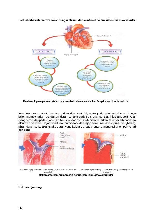 Jadual dibawah membezakan fungsi atrium dan ventrikel dalam sistem kardiovaskular     Membandingkan peranan atrium dan ven...