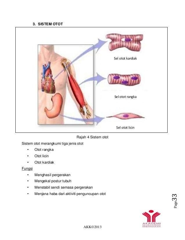 AKK©2013 Page33 3. SISTEM OTOT Rajah 4 Sistem otot Sistem otot merangkumi tiga jenis otot • Otot rangka • Otot licin • Oto...