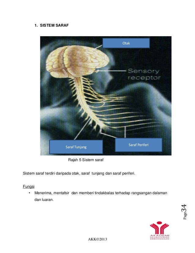 AKK©2013 Page34 1. SISTEM SARAF Rajah 5 Sistem saraf Sistem saraf terdiri daripada otak, saraf tunjang dan saraf periferi....