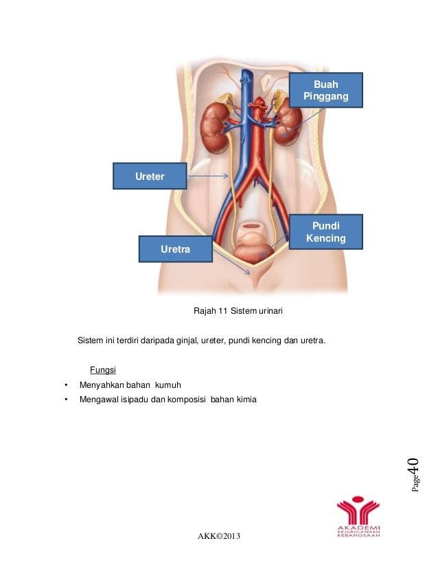 AKK©2013 Page40 Rajah 11 Sistem urinari Sistem ini terdiri daripada ginjal, ureter, pundi kencing dan uretra. Fungsi • Men...