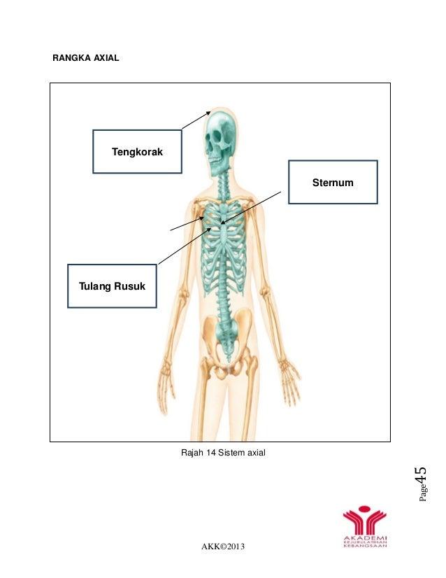 AKK©2013 Page45 RANGKA AXIAL Rajah 14 Sistem axial Tengkorak Sternum Tulang Rusuk