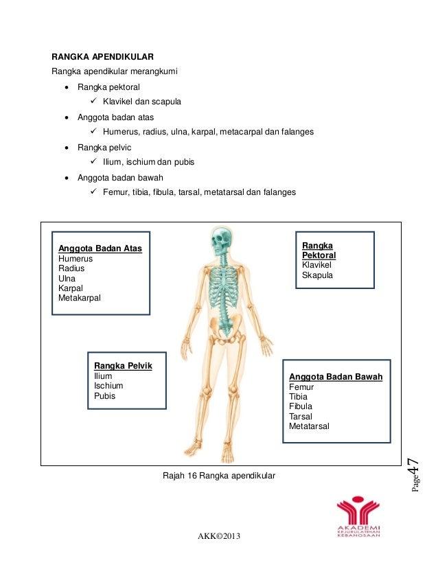 AKK©2013 Page47 RANGKA APENDIKULAR Rangka apendikular merangkumi  Rangka pektoral  Klavikel dan scapula  Anggota badan ...