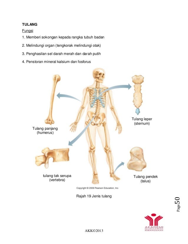 AKK©2013 Page50 TULANG Fungsi 1. Memberi sokongan kepada rangka tubuh badan 2. Melindungi organ (tengkorak melindungi otak...