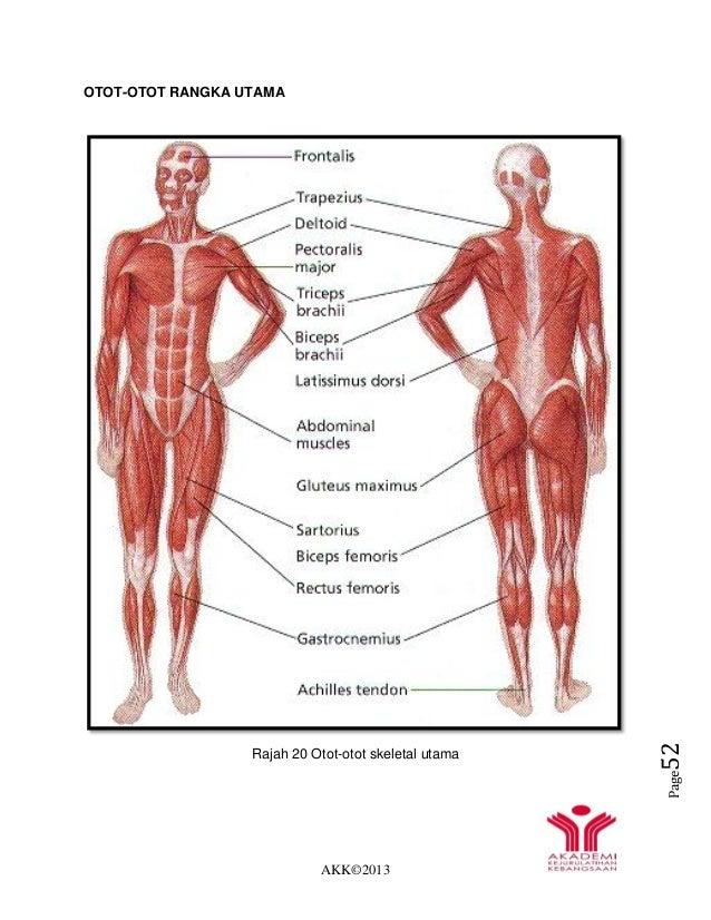 AKK©2013 Page52 OTOT-OTOT RANGKA UTAMA Rajah 20 Otot-otot skeletal utama