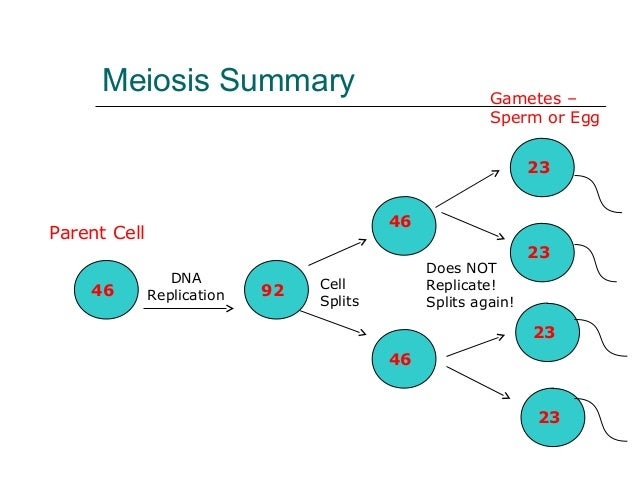 Meiosis meiosis summary ccuart Gallery