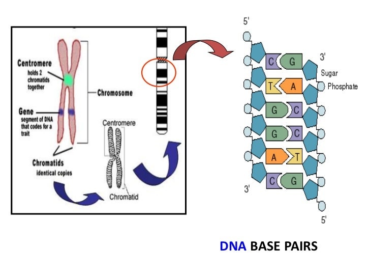 dna structure notes Two scientists, james watson and francis crick, worked out the structure of dna by using data from other scientists they were able to build a model of dna the data.