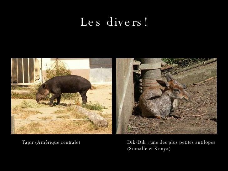 Les divers! Dik-Dik : une des plus petites antilopes (Somalie et Kenya) Tapir (Amérique centrale)