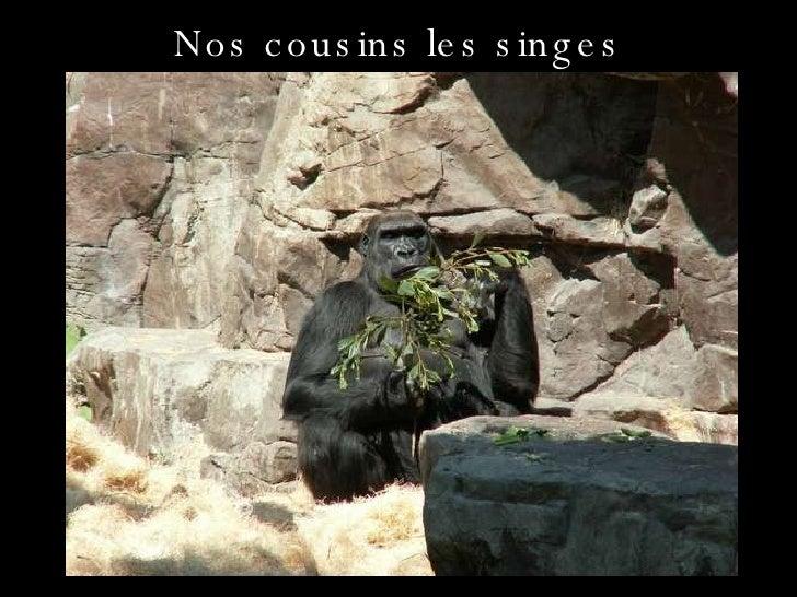 Nos cousins les singes
