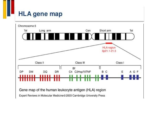 HLA gene map
