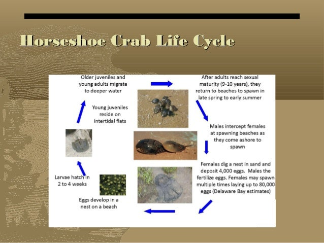 Fecampid flatworm parasites of hermit crabs. A ... |Crab Life Cycle Diagram