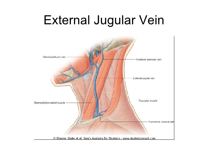 Ns6 Posterior Triangle Of Neck