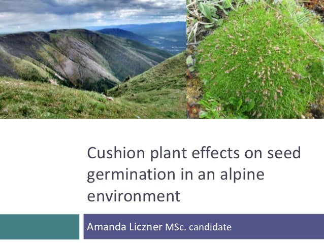 Cushion plant effects on seed  germination in an alpine  environment  Amanda Liczner MSc. candidate