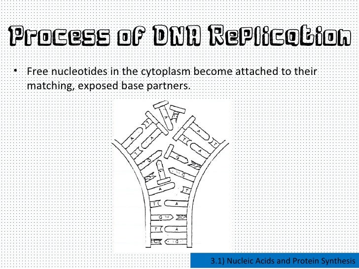 nucleic acid and protein sythesis Bonucleic acid (rna) and protein synthesis in the restitution of deoxyribonucleic  acid (dna) syn- thesis of escherichia coli following radiation block.