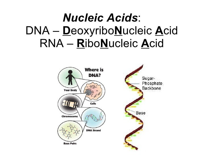 Nucleic Acids : DNA –  D eoxyribo N ucleic  A cid RNA –  R ibo N ucleic  A cid