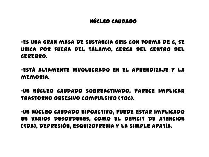 NÚCLEO CAUDADO•Es una gran masa de sustancia gris con forma de C, seubica por fuera del tálamo, cerca del centro delcerebr...